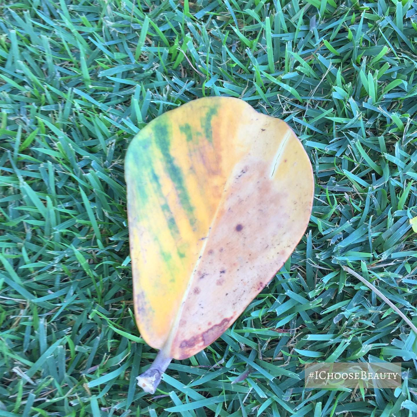 I love how the two halves of this leaf are different colors!  #ichoosebeauty Day 2472