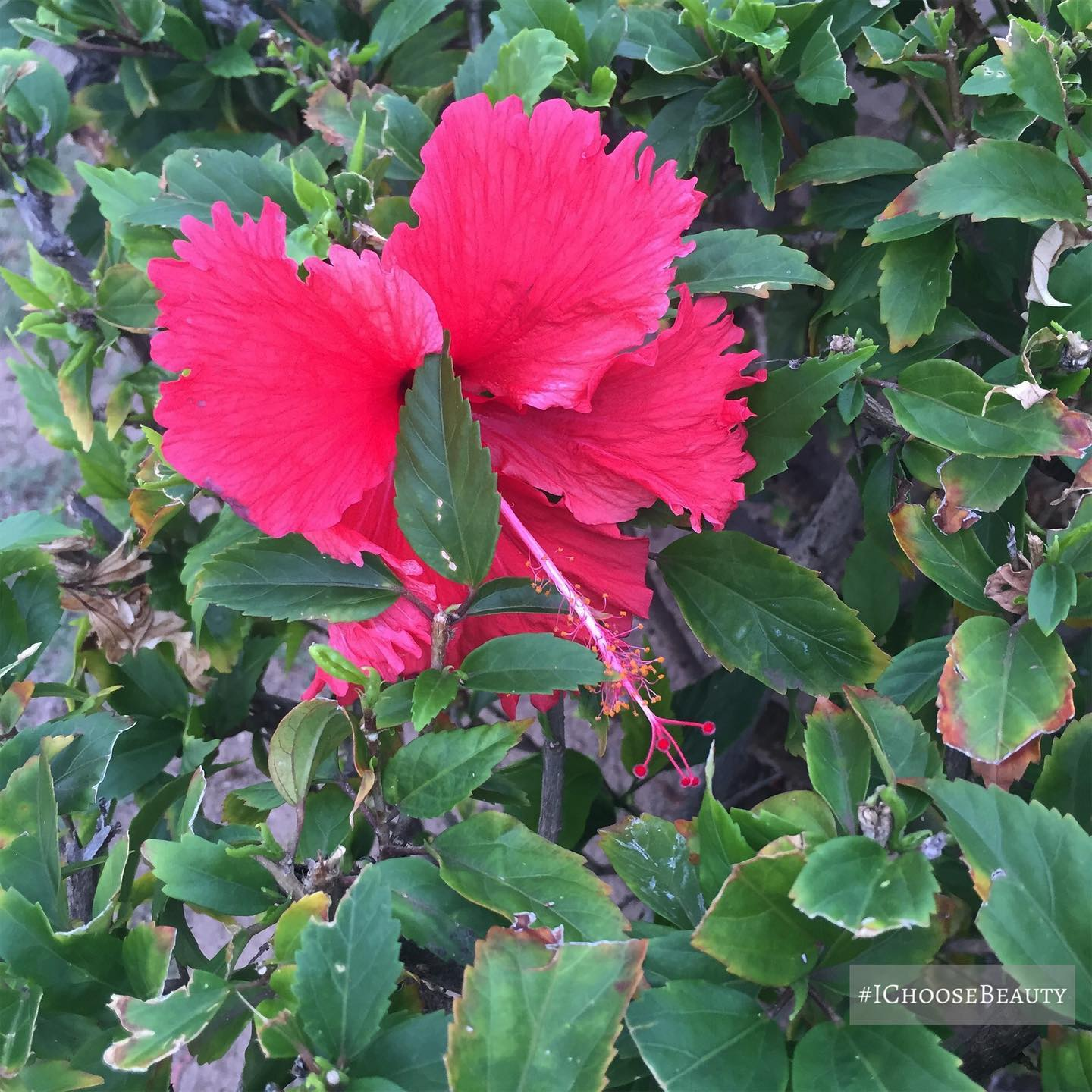 Saw this lone bright pink hibiscus in a bush in a parking lot. Beauty is all around us.  #ichoosebeauty Day 2566