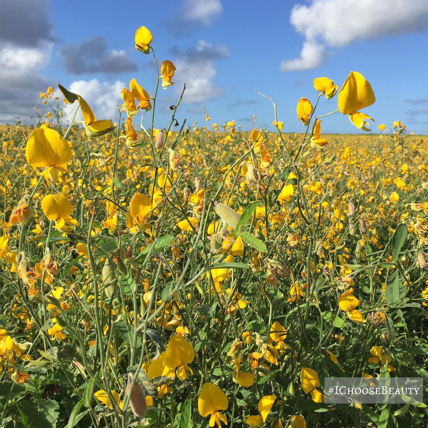 Yellow flowers for days! This field is breathtaking.  #ichoosebeauty Day 2694