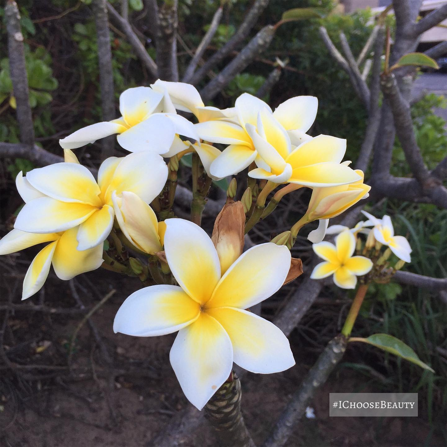 I always stop to smell the plumerias and take in their sweet scent. #ichoosebeauty Day 2698