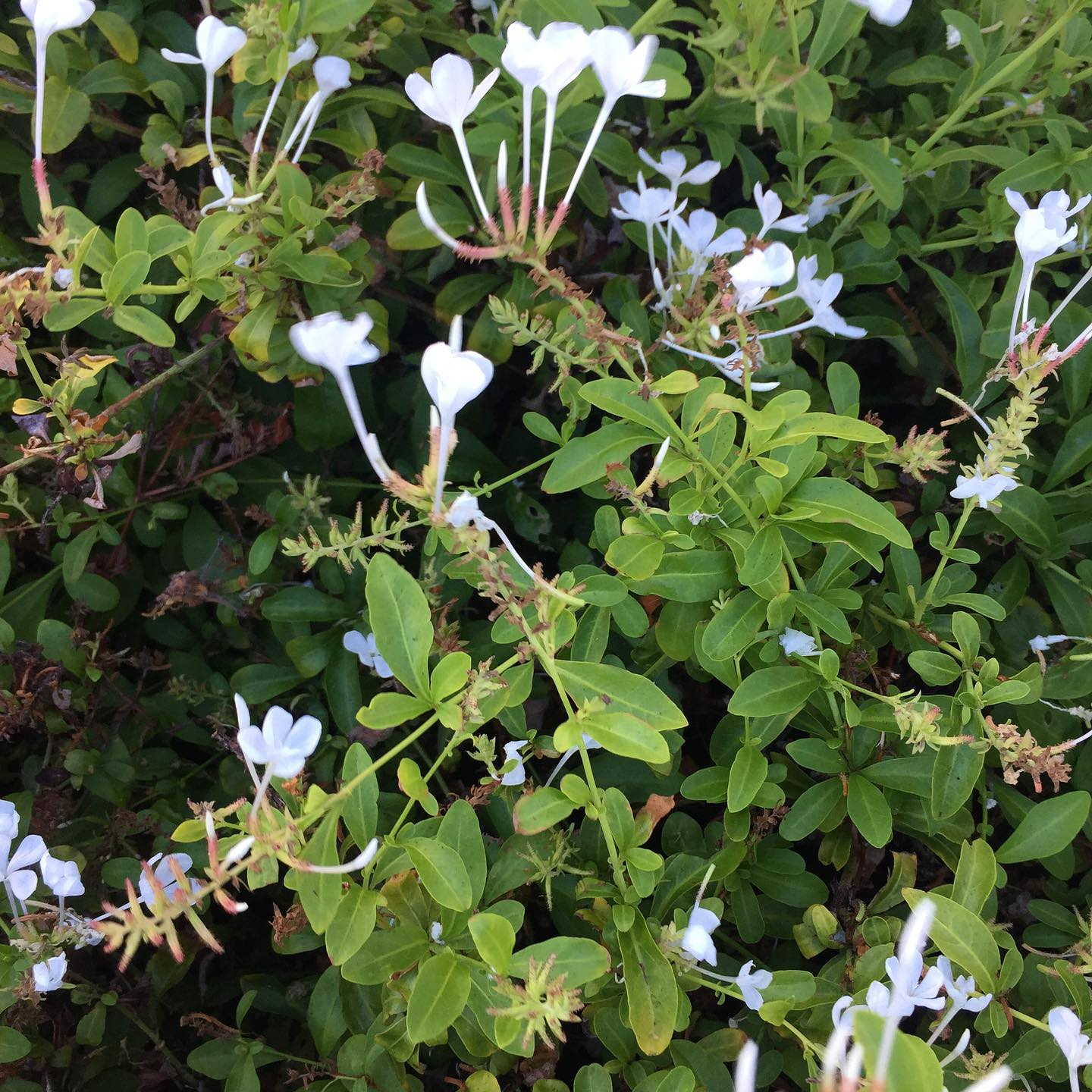 White flowers bring me such peace. Maybe I should take this entire bush home lol  #ichoosebeauty Day 2878